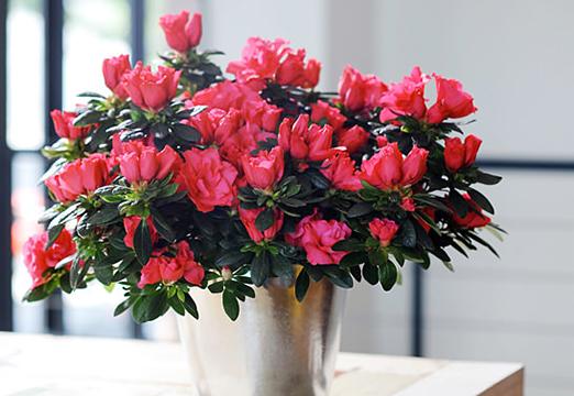 10 piante ornamentali antismog per l ufficio e la casa - Azalea pianta da interno o esterno ...