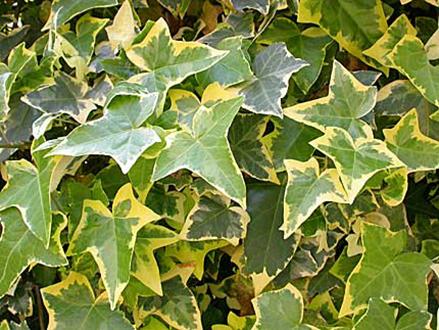 10 piante ornamentali antismog per l ufficio e la casa - Edera da interno ...