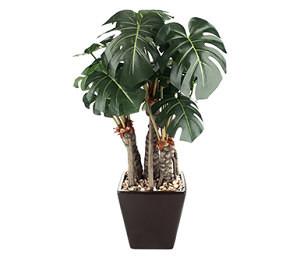 """Il nome Philodendron deriva dal greco e significa """"amore per gli alberi"""". In effetti la pianta cresce fissata agli alberi, che utilizza come supporto, abbracciandoli."""