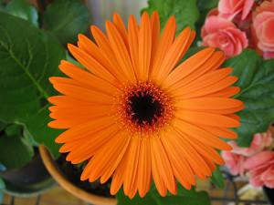 La maggior parte delle gerbere fiorisce da inizio primavera fino ad autunno inoltrato