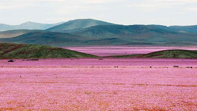 Il deserto Atacama fiorisce e si tinge di rosa