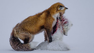 Fox tale - Wildlife photo of the year