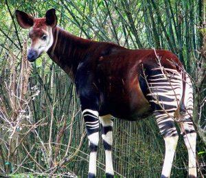 okapi animali brutti e strani a rischio estinzione