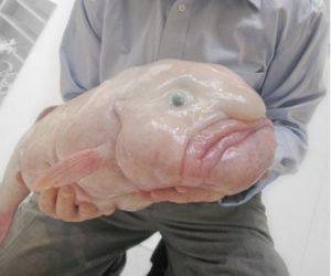 animali brutti il pesce blob