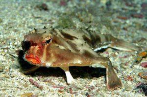 pesce pipistrello dalle labbra rosse animali brutti e strani