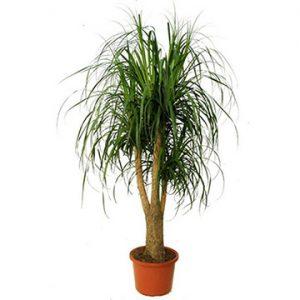 Cresce meglio se durante l'inverno entra in un periodo di riposo vegetativo: a questo scopo, posizionare la pianta in una zona poco riscaldata (tra i 2 e gli 8 °C).
