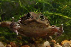rana gigante del titicaca animali brutti e strani