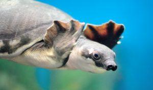 tartaruga naso di porcello animali brutti e strani