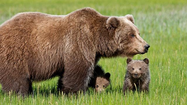 Sei bellissimi cuccioli di orso bruno in Abruzzo!
