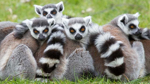 I lemuri del Madagascar sono una specie litigiosa