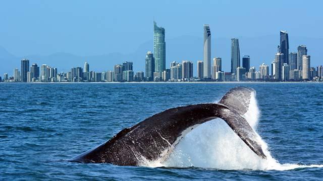 Nuotare con le megattere, nuova frontiera dell'ecoturismo