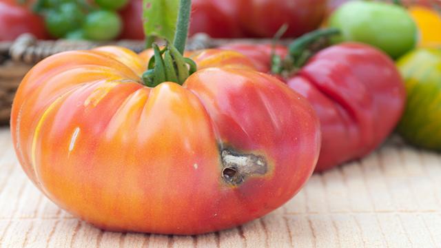 Cause e soluzioni al problema dei pomodori bacati