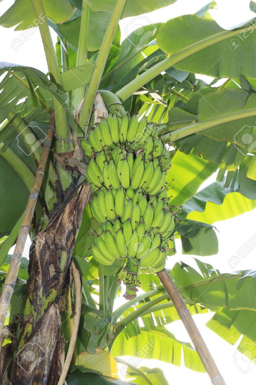Albero di banano adotta un albero for Albero di banane