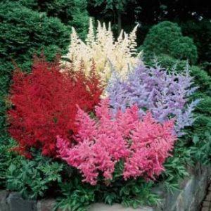 Astilbe piante da giardino