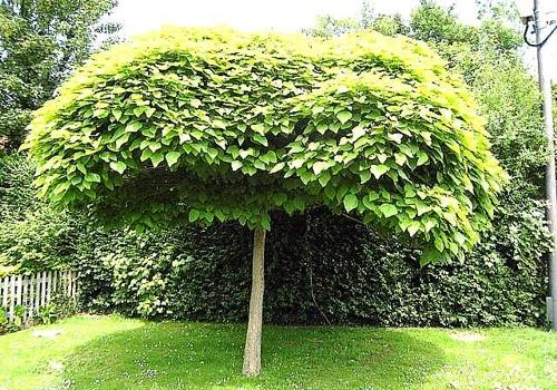 Catalpa piante da giardino - Alberi sempreverdi da giardino ...