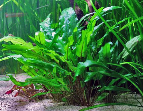 10 piante facili per l'acquario d'acqua dolce - Allestimento Acquario Dolce Con Piante Vere