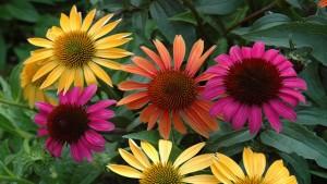 Echinacea piante da giardino