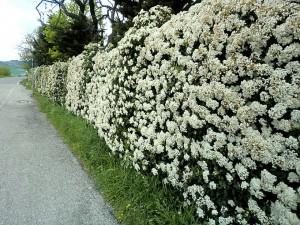 Viburno Tino piante da giardino