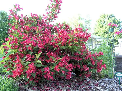 Weigela piante da giardino - Piante alte da giardino ...