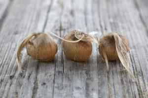 acquista bulbi zafferano biologico