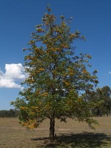 Adotta un albero di grevillea