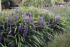 Liriope Muscari piante da giardino