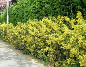 Mahonia piante da giardino