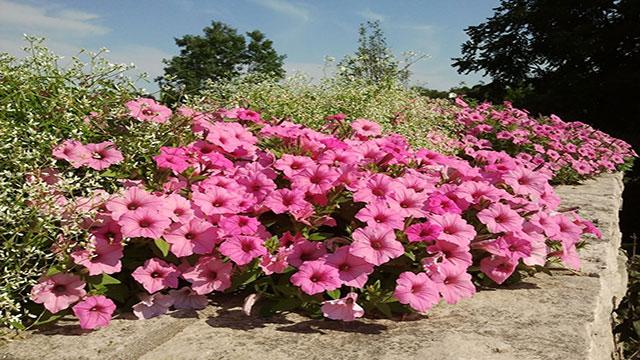 Petunia piante da giardino for Cespugli fioriti per giardino