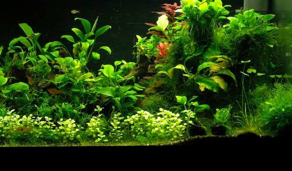 10 piante facili per l 39 acquario d 39 acqua dolce for Acqua per acquario