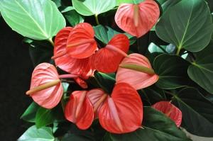 Anthurium è una tra le piante più coltivate in appartamento