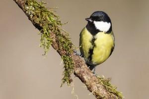 Cinciallegra come costruire casette per uccelli