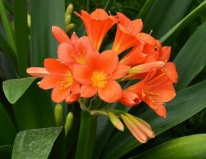 La Clivia è una pianta da interno con fiori arancio