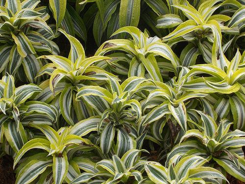 Dracaena una pianta da interno scopri come prendertene cura for Piante da interno profumate