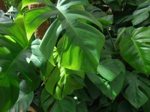Filodendro pianta da interno elegante