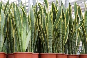Sansevieria trifasciata piante da interno