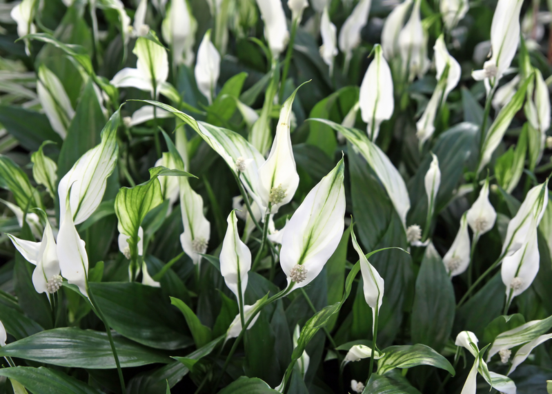Spatifillo pianta da interno come prendersene cura - Piante da interno con fiori ...