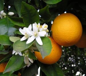 Arance, frutta di stagione di aprile
