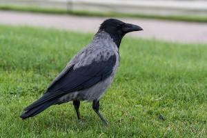 Come costruire casette per uccelli: cornacchia grigia