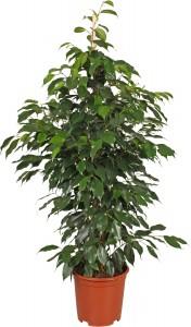 Ficus Benjamina è una pianta da interno ideale per arredare casa