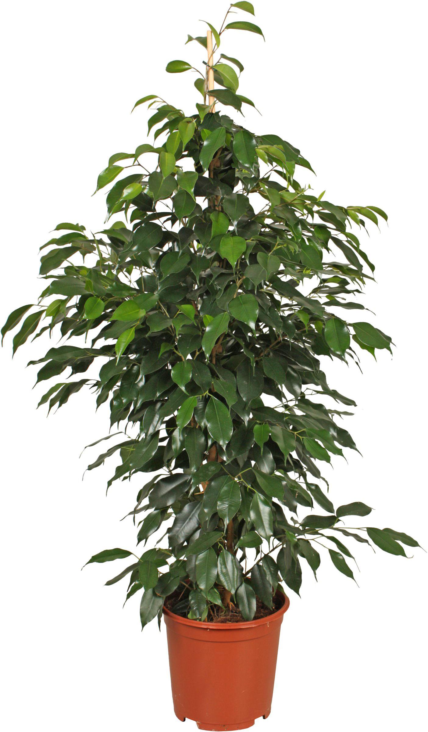 Ficus benjamina pianta da iterno for Piante sempreverdi da appartamento