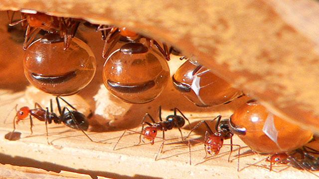 E se a produrre il miele fossero delle formiche - Formiche in casa perche ...