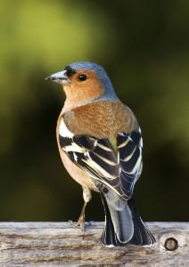 fringuello come costruire casette per uccelli
