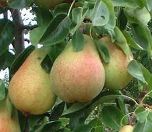 Pere frutta di stagione