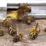Come salvare le api contro l'uso dei pesticidi