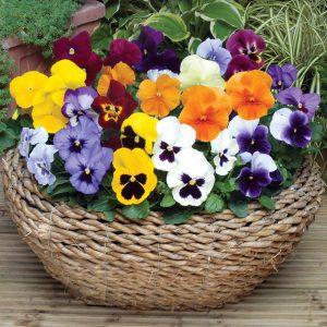 10 fiori da balcone primaverili, la violetta