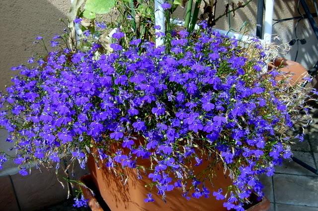 Hello green blue color green life for Fiori primaverili da balcone
