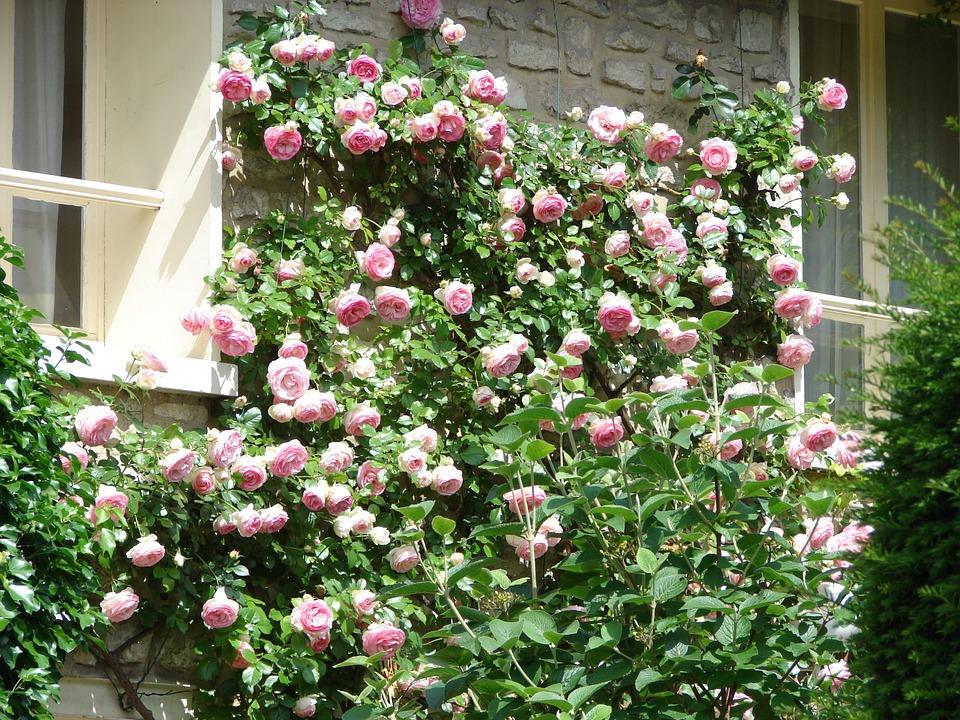 10 fiori primaverili da balcone rose rampicanti for Fiori da balcone perenni