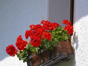 10 fiori da balcone primaverili, i gerani