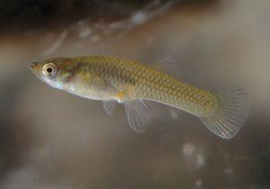 gambusia pesce rimedio naturale contro le zanzare