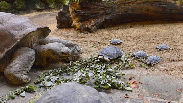 nigrita la tartaruga ottant'enne che salva la specie